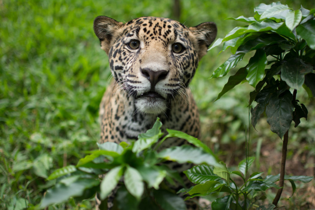 jaguar_costa_rica