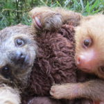 save rescate crowdfunding campaign sloths