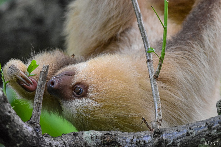 female two-toed sloth inspects a leaf for eating