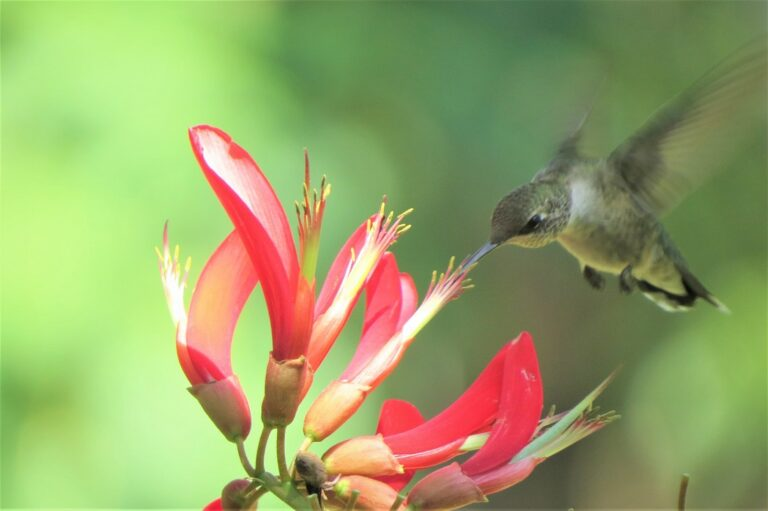 Hummingbird hovering while feeding from pink tubular flower's nectar