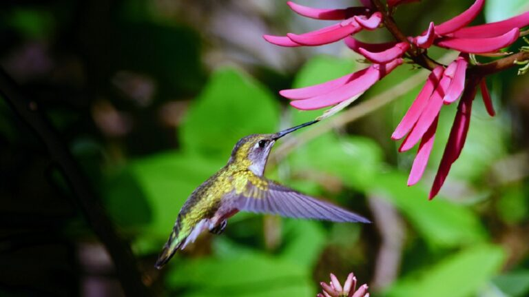 Hummingbird hovering beside pink tubular flower